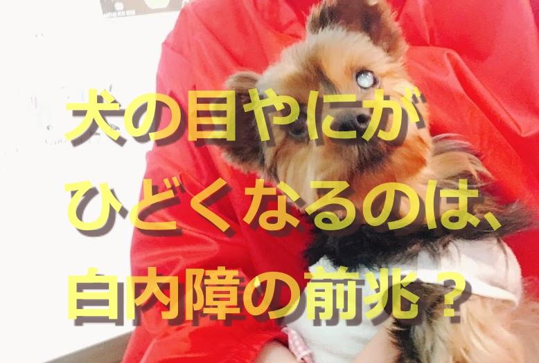 犬の目やにがひどくなるのは、白内障の前兆?